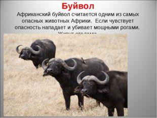 Буйвол Африканский буйвол считается одним из самых опасных животных Африки. Е