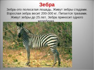 Зебра Зебра-это полосатая лошадь. Живут зебры стадами. Взрослая зебра весит 2