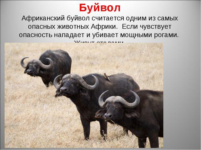 Буйвол Африканский буйвол считается одним из самых опасных животных Африки. Е...
