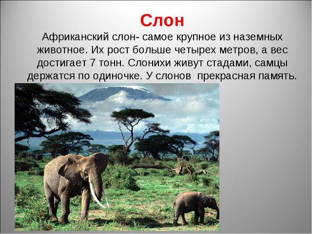 Слон Африканский слон- самое крупное из наземных животное. Их рост больше чет...