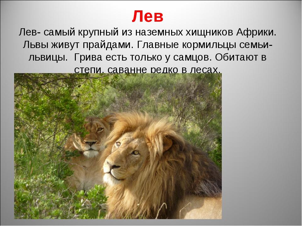 Лев Лев- самый крупный из наземных хищников Африки. Львы живут прайдами. Глав...