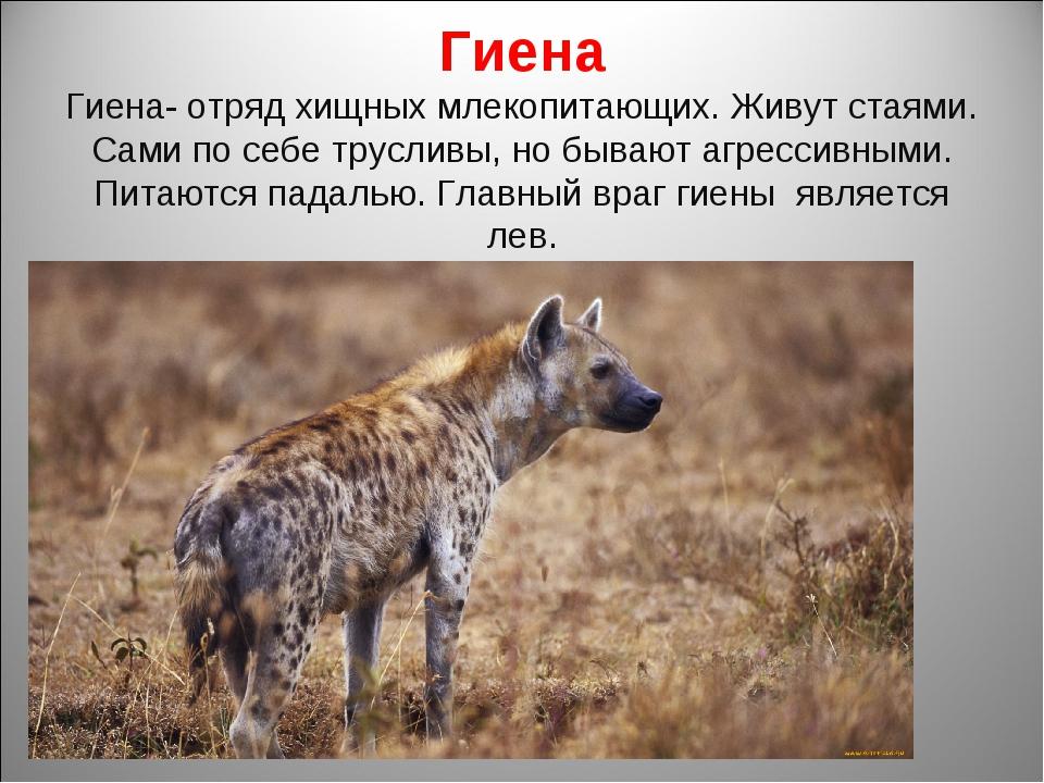Гиена Гиена- отряд хищных млекопитающих. Живут стаями. Сами по себе трусливы,...