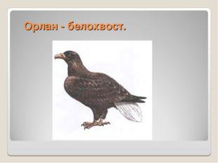 Орлан - белохвост.