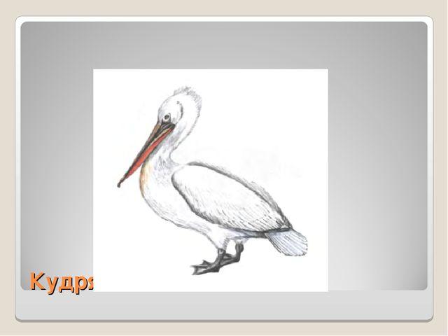 Кудрявый пеликан.