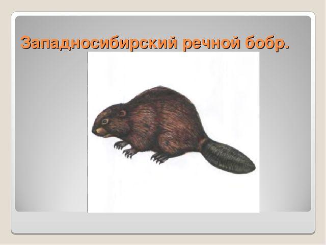 Западносибирский речной бобр.
