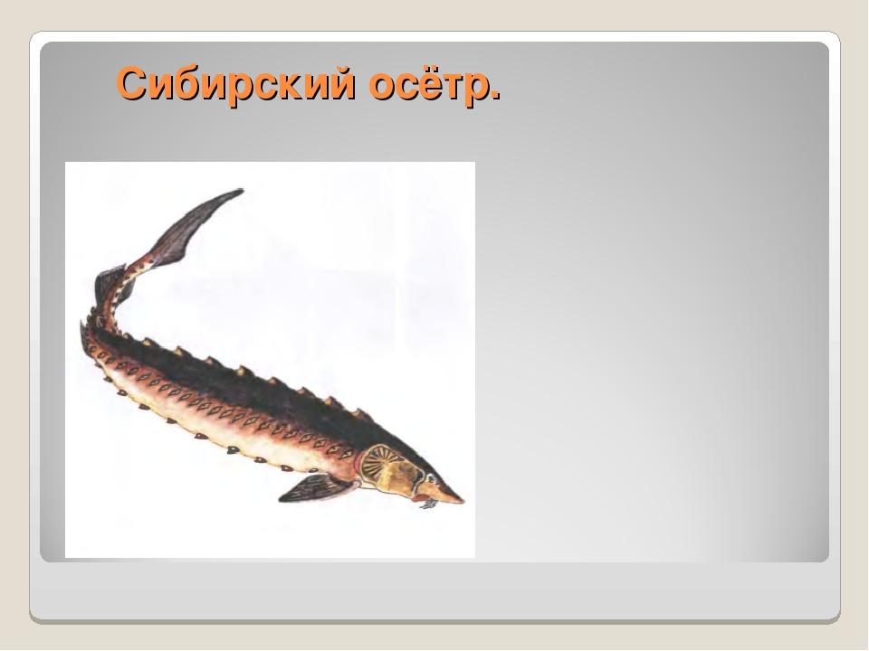 Сибирский осётр.