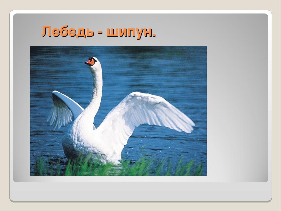 Лебедь - шипун.
