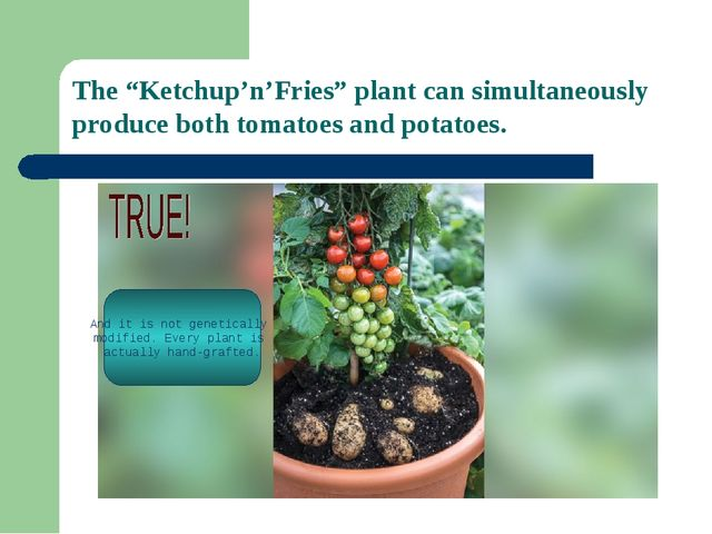 """The """"Ketchup'n'Fries"""" plant can simultaneously produce both tomatoes and pota..."""