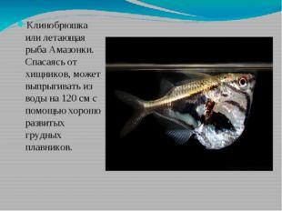 Клинобрюшка или летающая рыба Амазонки. Спасаясь от хищников, может выпрыгив