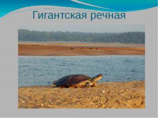 Гигантская речная черепаха