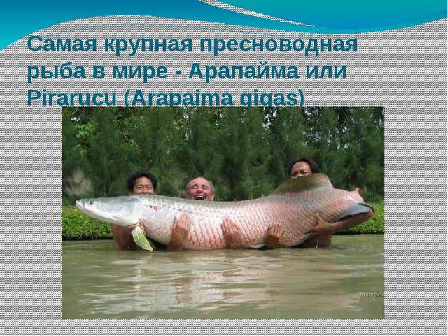 Самая крупная пресноводная рыба в мире - Арапайма или Pirarucu (Arapaima gigas)