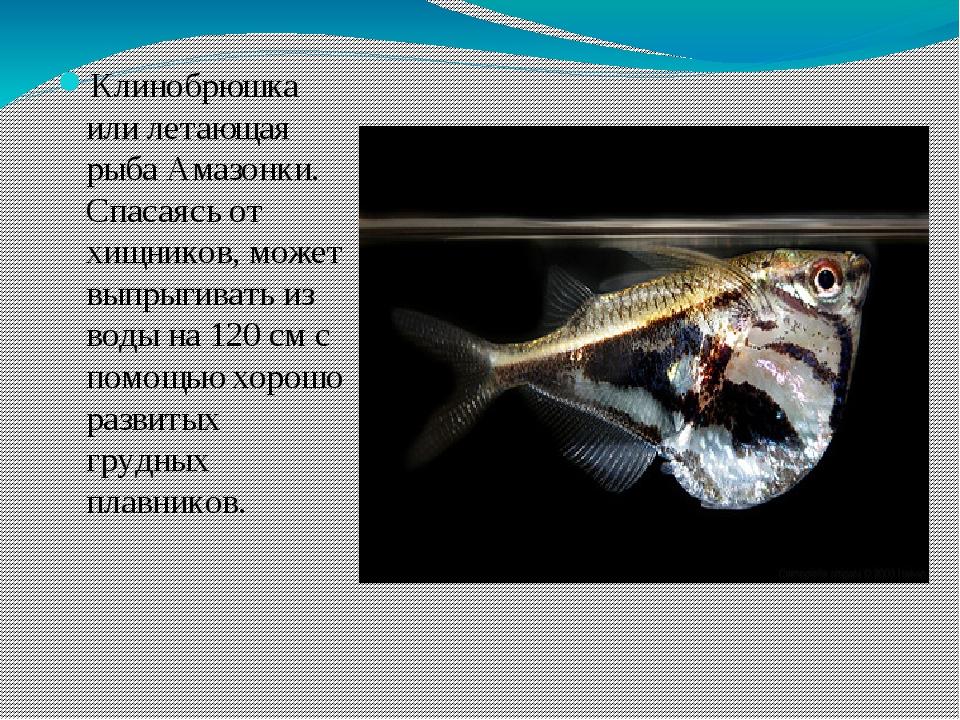 Клинобрюшка или летающая рыба Амазонки. Спасаясь от хищников, может выпрыгив...