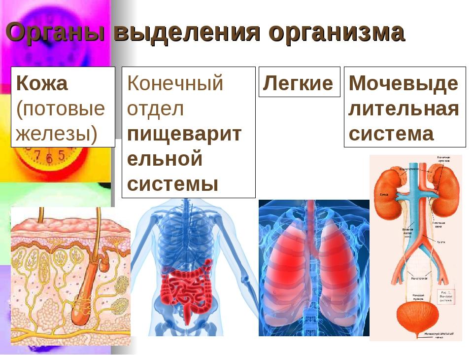 Органы выделения организма Конечный отдел пищеварительной системы Легкие Кожа...