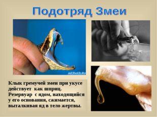Клык гремучей змеи при укусе действует как шприц. Резервуар с ядом, находящий