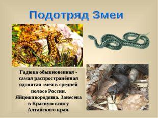 Гадюка обыкновенная - самая распространённая ядовитая змея в средней полосе Р