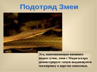 Эта, напоминающая внешним видом сучок, змея с Мадагаскара демонстрирует самую