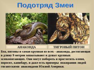 Боа, питоны и самая крупная из всех - анаконда, достигающая в длину 9 метров