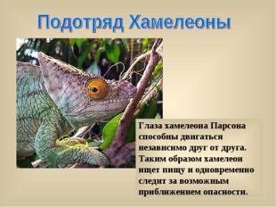 Глаза хамелеона Парсона способны двигаться независимо друг от друга. Таким об