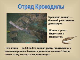 Его длина — до 6,6 м. Ест гавиал рыбу, схватывая ее с помощью резкого боково