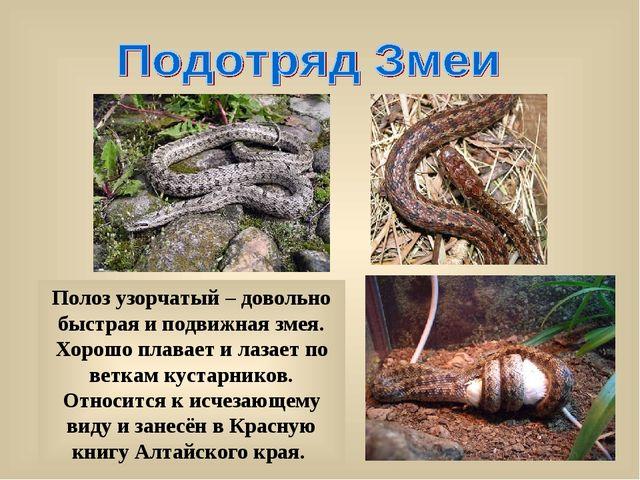 Полоз узорчатый – довольно быстрая и подвижная змея. Хорошо плавает и лазает...
