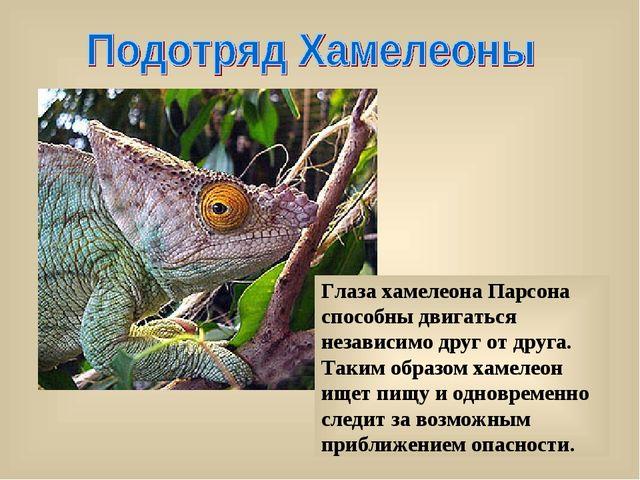 Глаза хамелеона Парсона способны двигаться независимо друг от друга. Таким об...