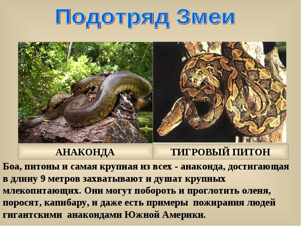 Боа, питоны и самая крупная из всех - анаконда, достигающая в длину 9 метров...