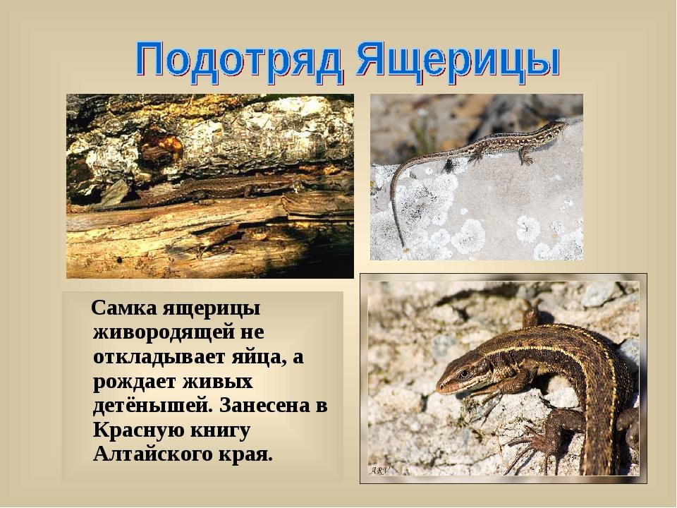 Самка ящерицы живородящей не откладывает яйца, а рождает живых детёнышей. За...