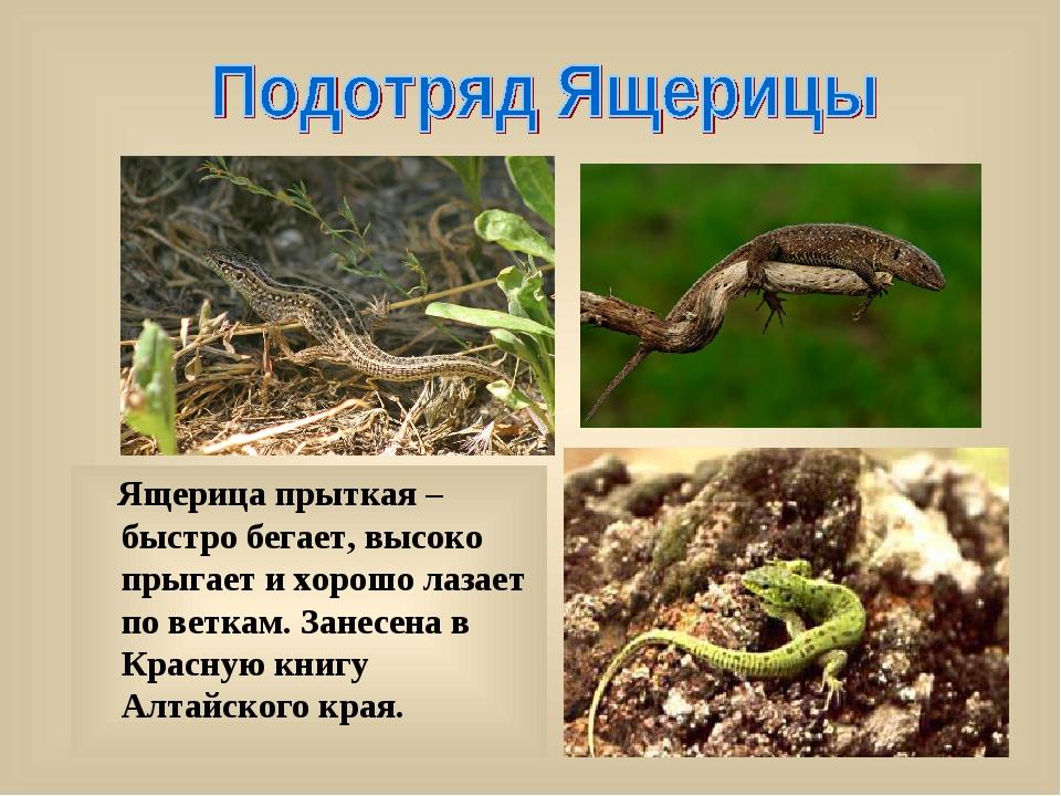 Ящерица прыткая – быстро бегает, высоко прыгает и хорошо лазает по веткам. З...