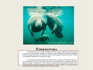 Ламантин Ламантины, или как их ещё называют, морские коровы, являются удивит