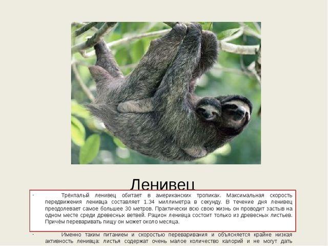 Ленивец Трёхпалый ленивец обитает в американских тропиках. Максимальная скор...