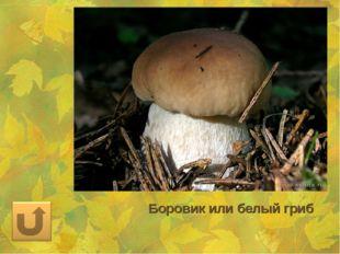 Боровик или белый гриб