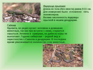 Ящерица прыткая Длина ее тела (без хвоста) равна 9-11 см. Для измерения было