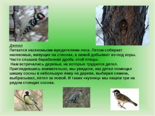 Дятел Питается насекомыми-вредителями леса. Летом собирает насекомых, живущих