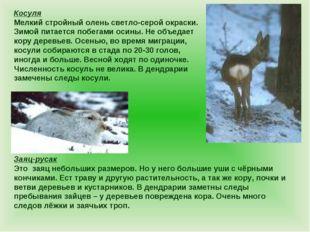 Косуля Мелкий стройный олень светло-серой окраски. Зимой питается побегами ос