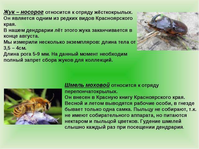 Жук – носорог относится к отряду жёсткокрылых. Он является одним из редких ви...