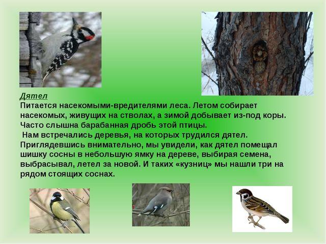 Дятел Питается насекомыми-вредителями леса. Летом собирает насекомых, живущих...