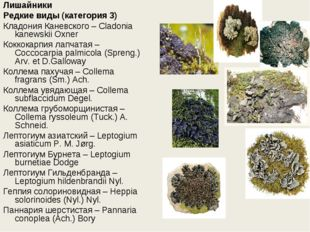 Лишайники Редкие виды (категория 3) Кладония Каневского – Cladonia kanewskii
