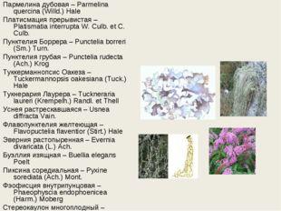 Пармелина дубовая – Parmelina quercina (Willd.) Hale Платисмация прерывистая