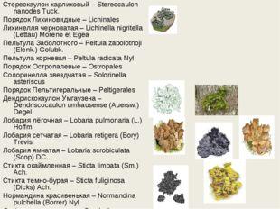 Стереокаулон карликовый – Stereocaulon nanodes Tuck. Порядок Лихиновидные – L