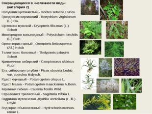 Сокращающиеся в численности виды (категория 2) Полушник щетинистый - Isoёtes