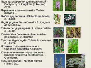 Пальчатокоренник длиннолистный - Dactylorhyza longifolia (L.Neum.) Aver. Ятры