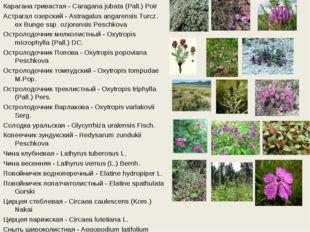 Карагана гривастая - Caragana jubata (Pall.) Poir Астрагал озерский - Astraga