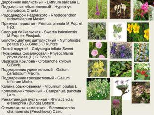 Дербенник иволистный - Lythrum salicaria L. Подъельник обыкновенный - Hypopit