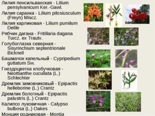 Лилия пенсильванская - Lilium pensylvanicum Ker.-Gawl. Лилия саранка - Lilium