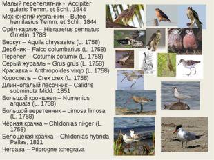 Малый перепелятник - Accipiter gularis Temm. et Schl., 1844 Мохноногий курга