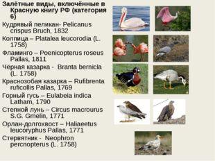 Залётные виды, включённые в Красную книгу РФ (категория 6) Кудрявый пеликан-