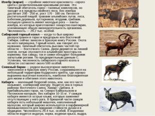 Изюбр (марал)— стройное животное красновато—серого цвета с разветвленными кр
