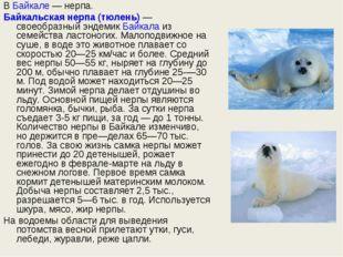 ВБайкале— нерпа. Байкальская нерпа (тюлень)— своеобразный эндемикБайкала