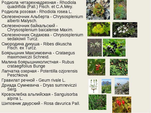 Родиола четарехнадрезная - Rhodiola quadrifida (Pall.) Fisch. et C.A.Mey. Род...