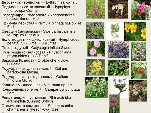 Дербенник иволистный - Lythrum salicaria L. Подъельник обыкновенный - Hypopit...